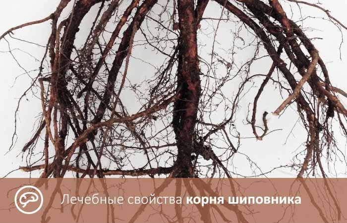 Лечебные свойства корня шиповника