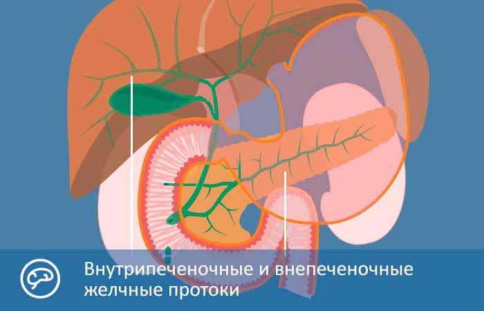 Анатомия желчных протоков