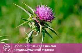 Полезные травы для печени и поджелудочной железы